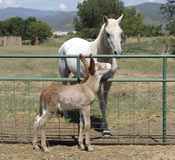 Clickable Image: Taos Art School; Rosa the donkey's colt and Opulento the Arabian Horse